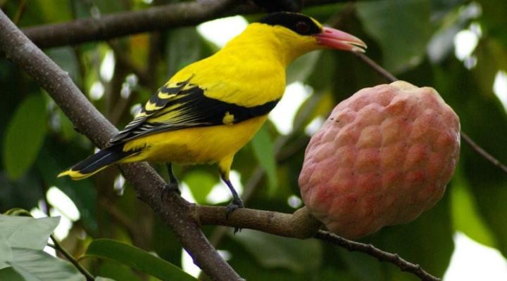 Serba-Serbi Maskot Jawa Tengah, Burung Kepodang Emas