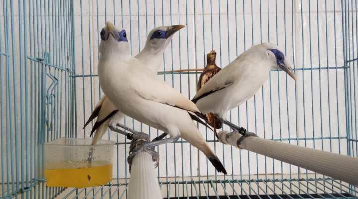 Ready Stock Anakan Burung Jalak Bali Bersertifikat Resmi BKSDA – 04 Maret 2017