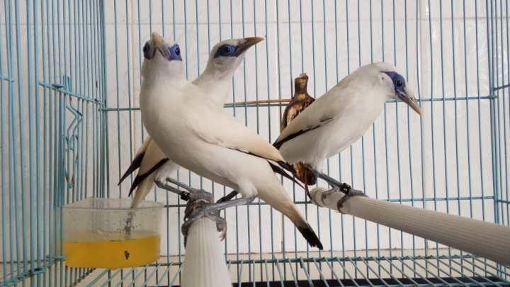 Jalak BaliReady Stock Anakan Burung Jalak Bali Bersertifikat Resmi BKSDA - 04 Maret 2017