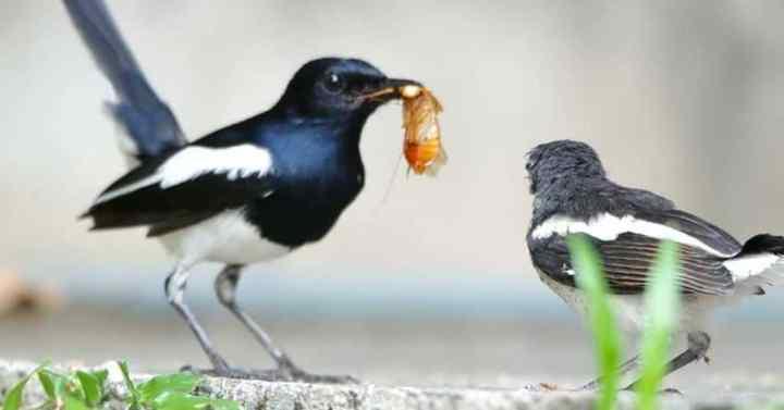 Baru pertama kali memelihara burung kacer Cara Merawat Burung Kacer Bagi Pemula