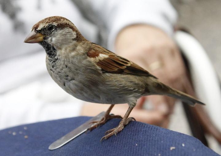 Burung gereja merupakan burung yang banyak dipelihara oleh para pencinta burung untuk dija Cara Menjinakkan Burung Gereja Liar