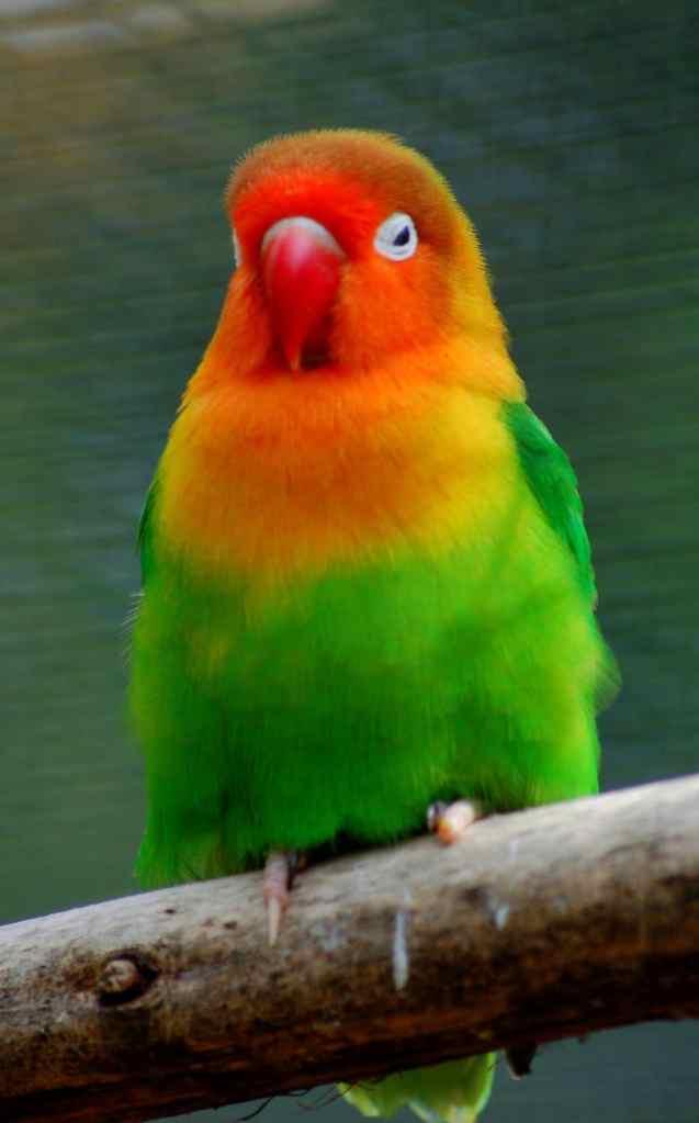 Membedakan Jenis Kelamin Lovebird dengan Tes DNA Sexing