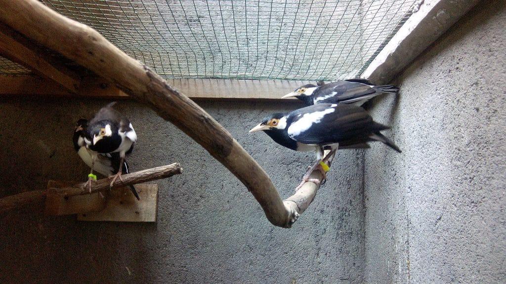 Burung Jalak Suren
