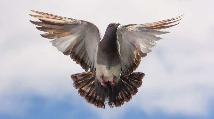 Sisi Unik Burung Merpati yang Harus Anda Tahu