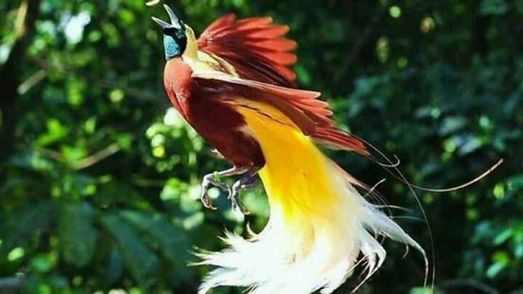 burung cendrawasih Source - tentangindonesiaku