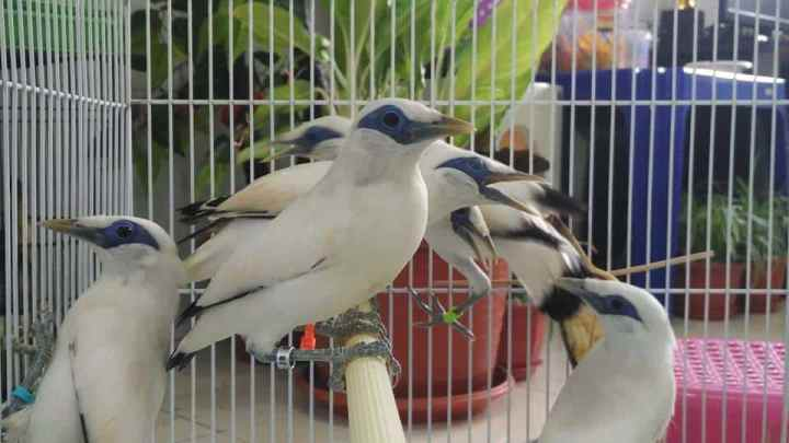 Anakan Burung Jalak Bali