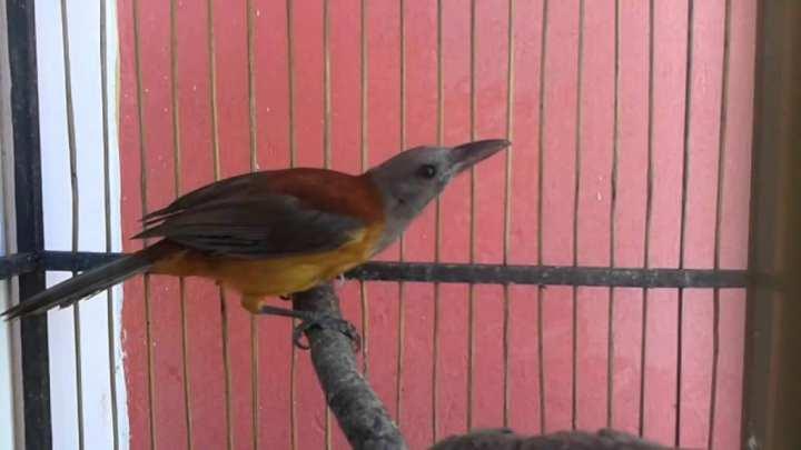 Banyak para pecinta burung yang sudah membicarakan wacana  Membedakan Jenis Kelamin Burung Cucak Rowo Papua