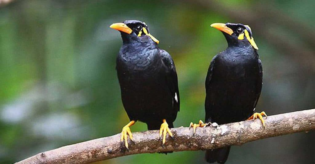 Siapa sih yang tak kenal dengan burung jalak Mengenal Berbagai Jenis Burung Jalak dengan Kicauan Terbaik