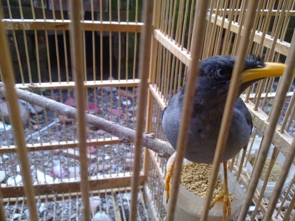 Burung jalak hingga dengan ketika ini memang masih menjadi favorit dari sebagian besar masya Cara Membedakan Kelamin Dan Merawat Burung Jalak Kebo