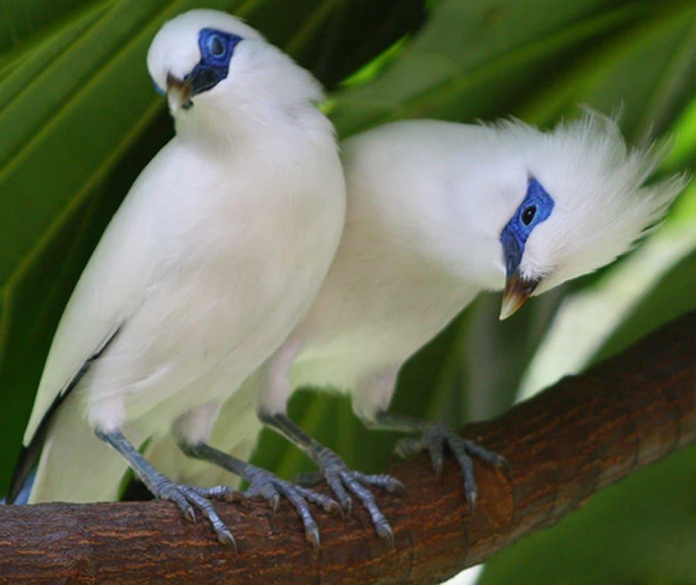 Hampir bisa dipastikan bila semua penggemar burung pastilah bahagia bila mempunyai burung ya Cara Merawat dan Melatih Burung Jalak Bali semoga Cepat Gacor
