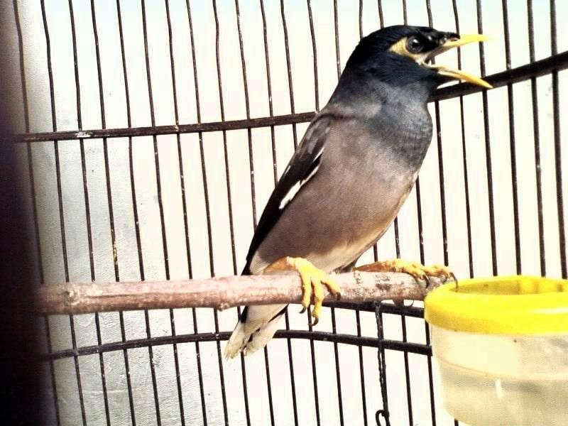 Beternak burung jalak memang bisa menambah pemasukan keluarga bahkan bisa menjadi sumber  Karakteristik Jalak Nias dan Ciri-Cirinya