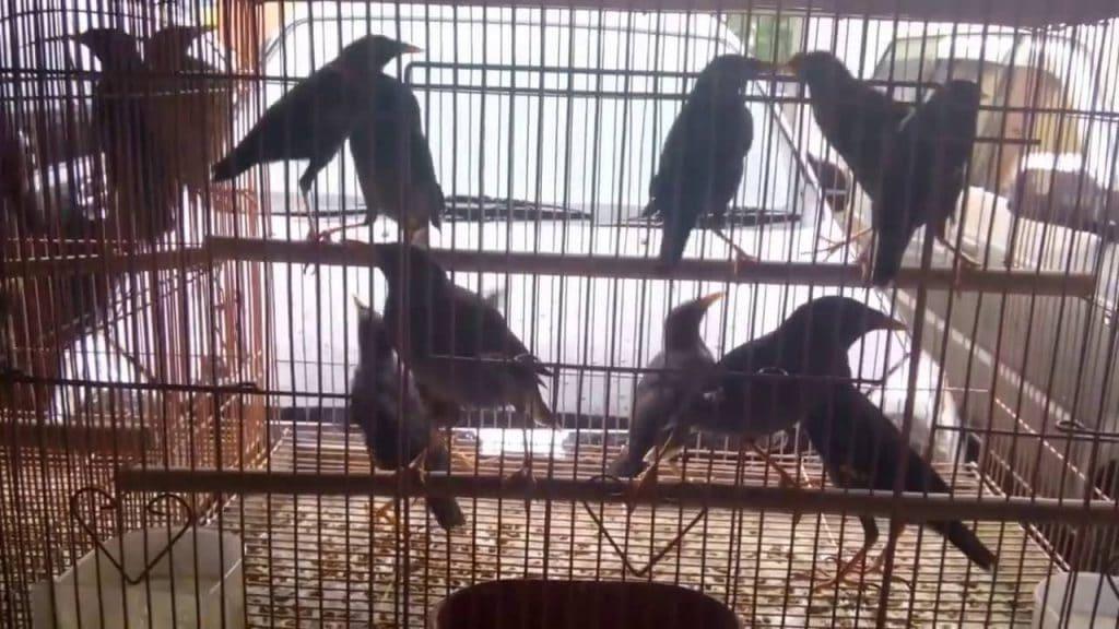 Hobi memelihara burung telah jadi viral semenjak beberapa tahun belakangan Mengenal Lebih Dekat Karakteristik Jalak Kebo dan Cara Perawatannya
