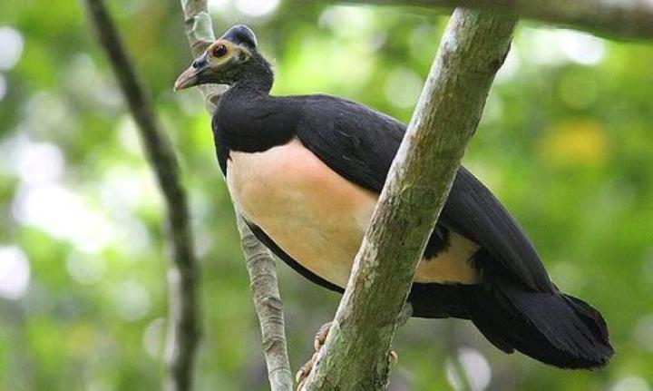 Burung Gosong Maluku