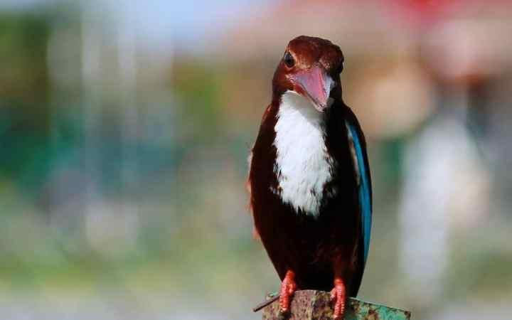 Anda tentu sanggup menebak bahwa burung yang satu ini merupakan jenis burung pemakan ikan Mengenal Burung Raja Udang, Inspirasi Shinkansen Jepang