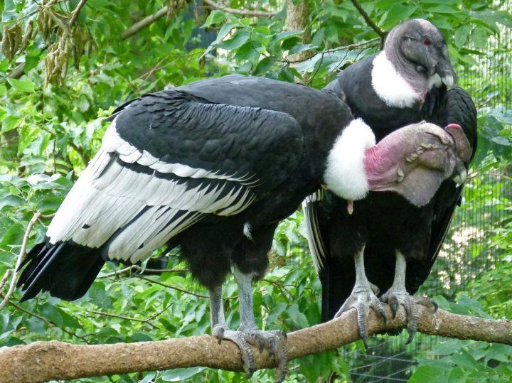 Burung Setia
