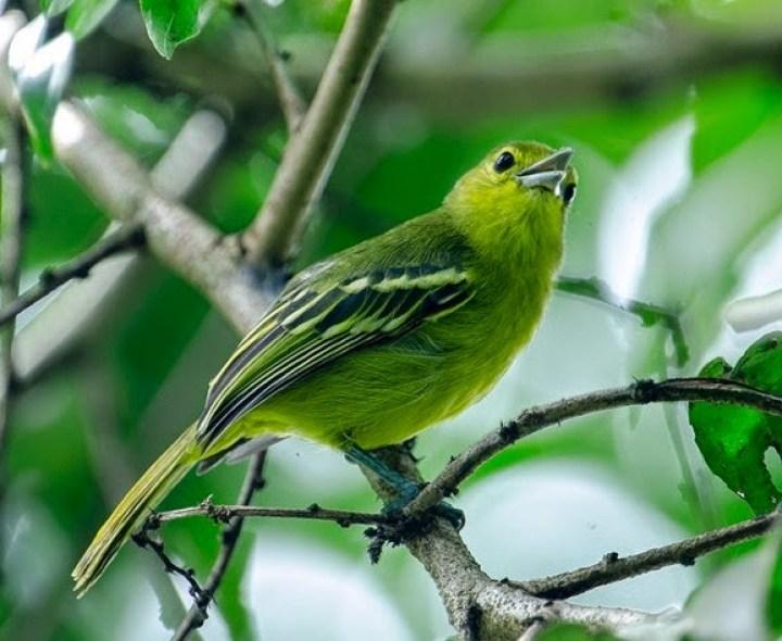 Burung Sirtu Muda Hutan