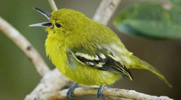 Tips Memelihara Burung Cipoh