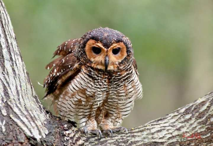 Seloputo (Spotted Wood Owl)