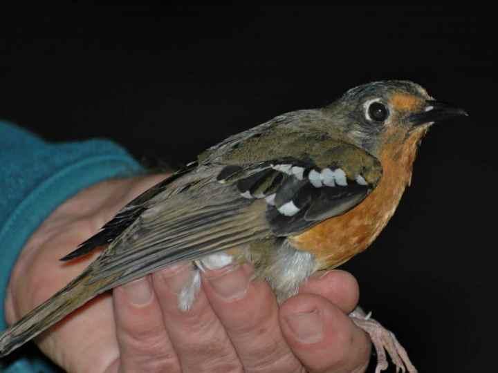 Ada banyak jenis burung anis yang sanggup dipelihara Kenali 8 Jenis Burung Anis yang Ada di  Indonesia