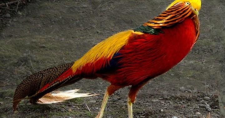 Golden pheasant yakni salah satu burung terindah di dunia 8 Keunikan Golden Pheasant, Burung Tercantik di Dunia