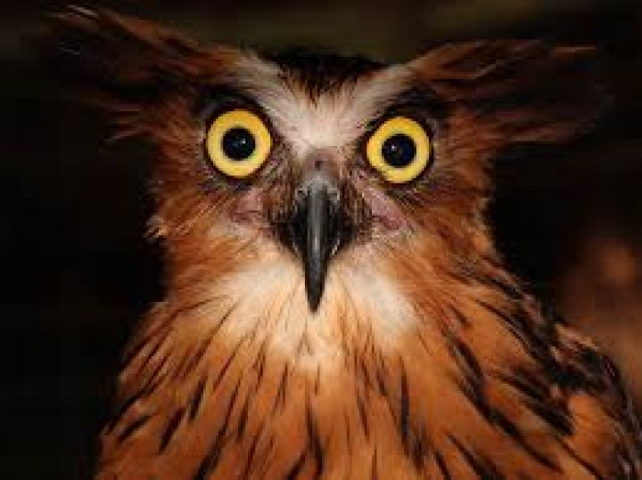 Kelopak mata burung hantu