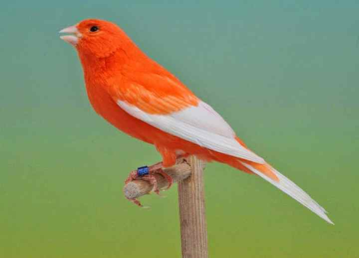 Kenari Rusia masih satu famili dengan Senirus canaria 7 Fakta Unik Burung Kenari Rusia