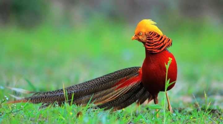 8 Keunikan Golden Pheasant, Burung Tercantik di Dunia