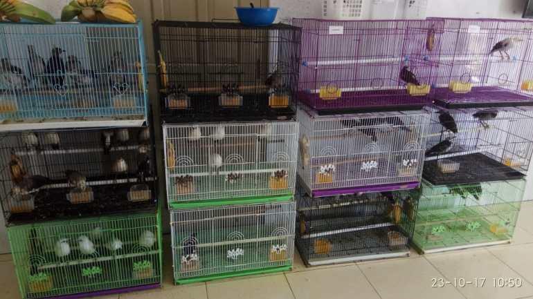 Burung Jalak Hongkong