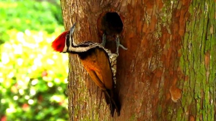 Burung Pelatuk Bawang Jantan Dengan Khasiat Mistiknya