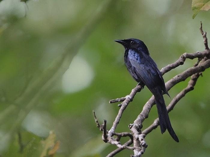 Karakteristik Burung Srigunting