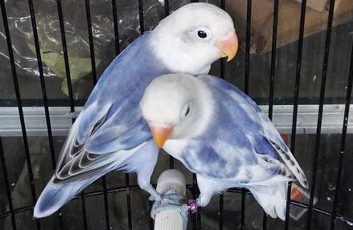 Lovebird blorok blue series