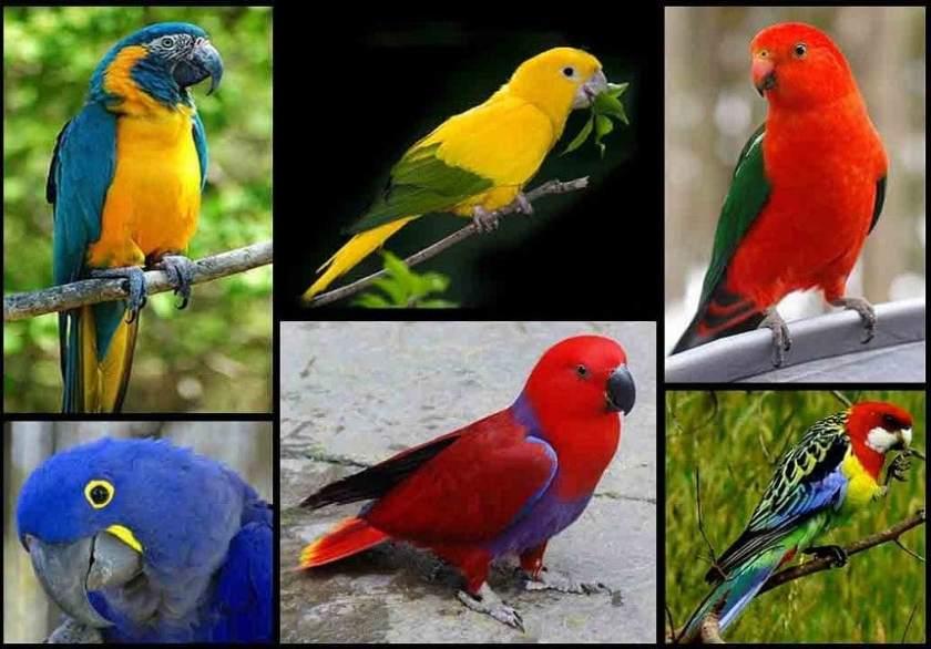 Macam-Macam Burung Hias Berparuh Bengkok Untuk Peliharaan