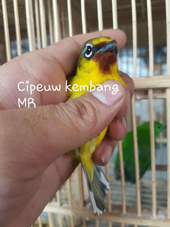 Cipeuw Kembang