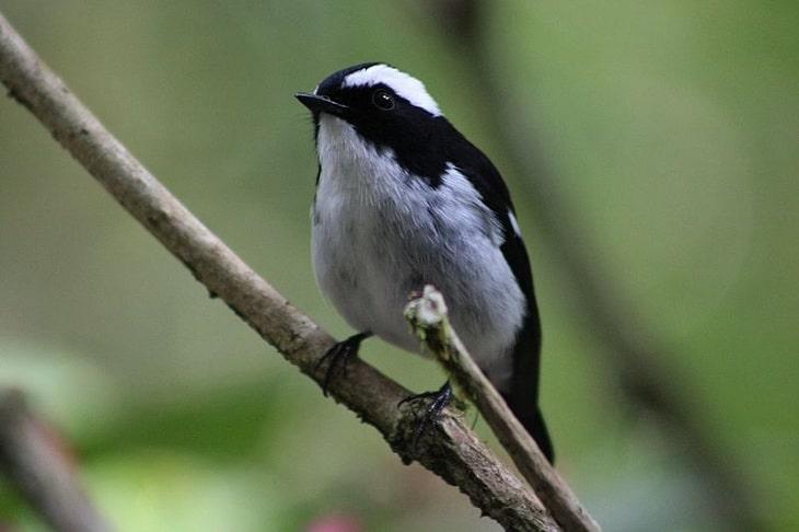 mengenal ciri khas burung sikatan belang dan habitatnya