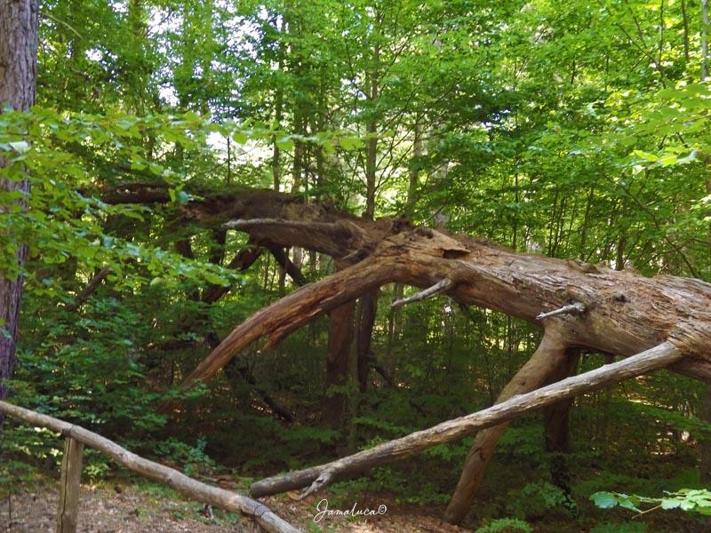Giganti della Sila albero morto