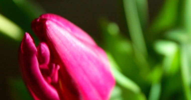 A kiss of color from Tulips