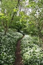 A woodland scene with wild garlic flowers