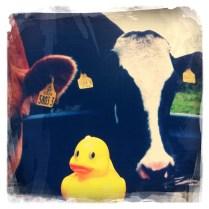 Ducky on Tour, 4 (mooo)