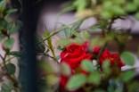 7-52-18|Roses-16|©JamesECockroft-20130502