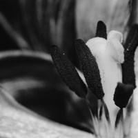 Ageing Tulips VSCO14©JamesECockroft 20140201