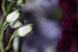 Delphinium ©JamesECockroft-20140301-2