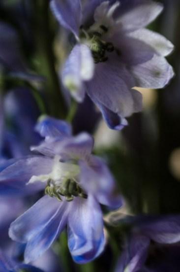Delphinium ©JamesECockroft-20140301