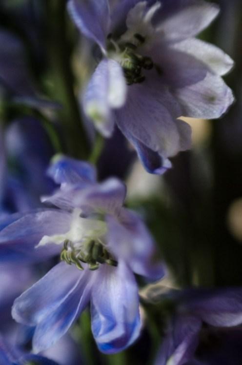 Delphinium|©JamesECockroft-20140301