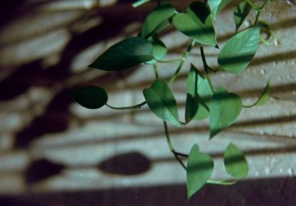 vine and shadows