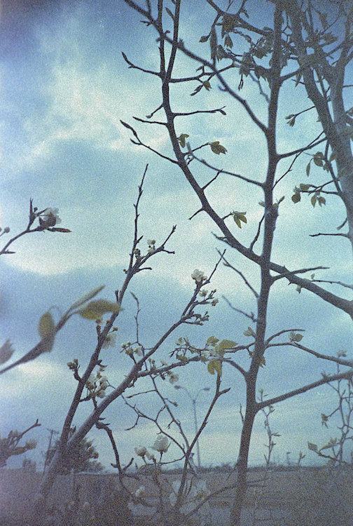 Pear tree at ISO 100