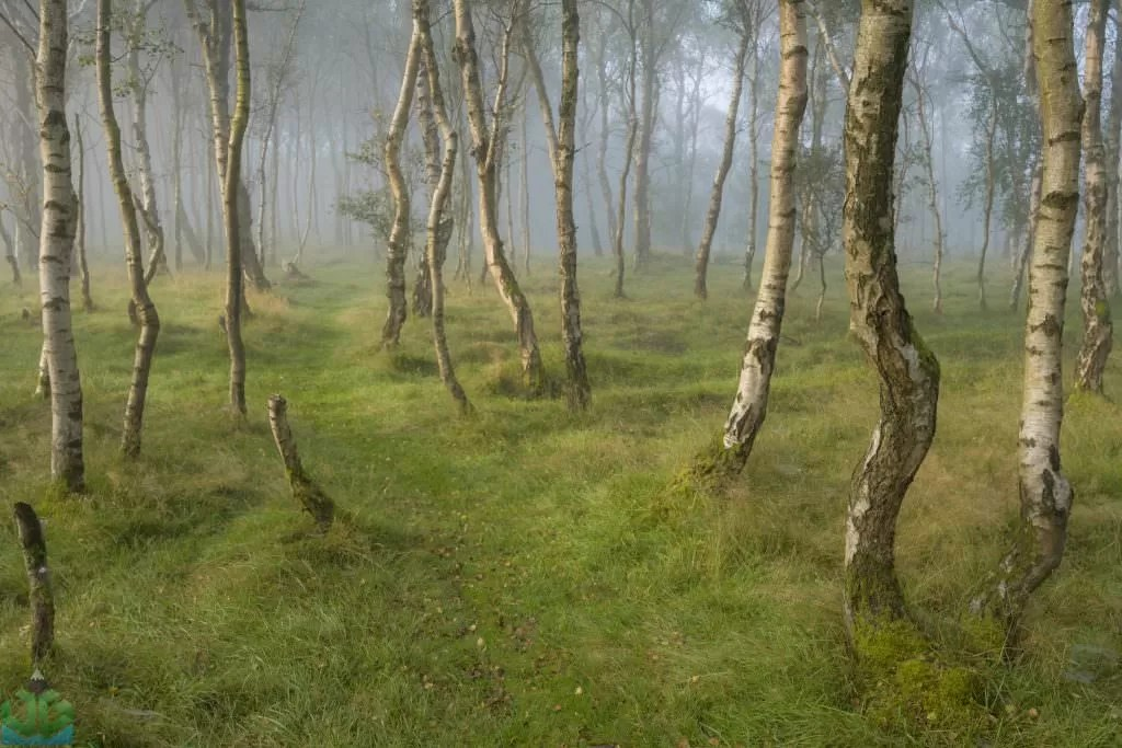 Bolehill Woods in the Fog - Peak District Photography