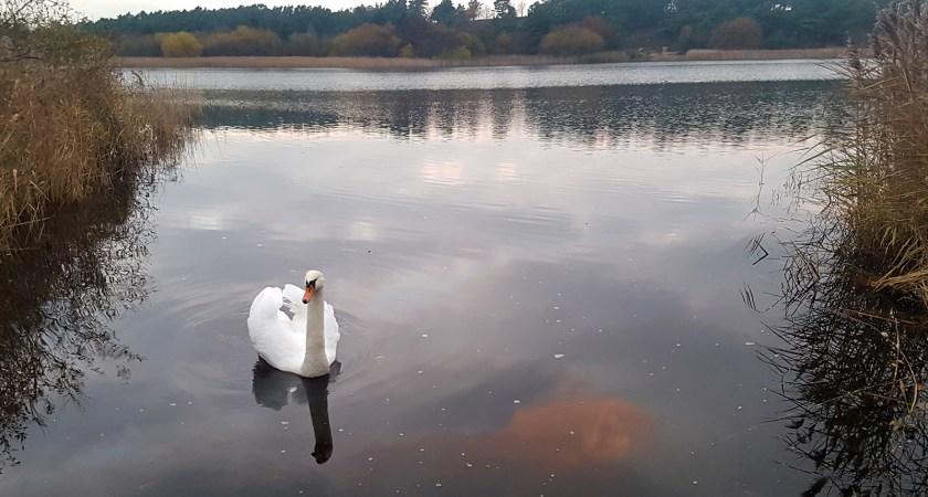 Swan at Frensham Little Pond