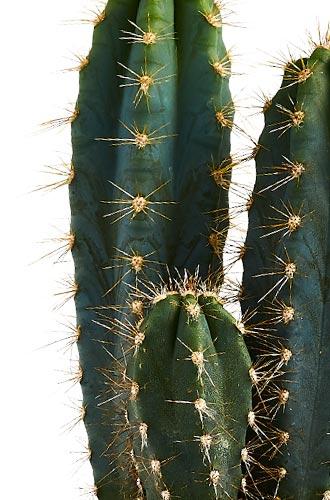 Cactus Ingredient
