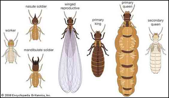 Any Female Producing Egg Is Capable Of Developing Into Either A Worker Or Queen On The Condition That Well Nourished Larva Develops