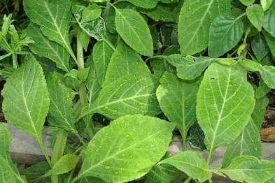 Salvia Divinorum, Photo by David J. Stang,
